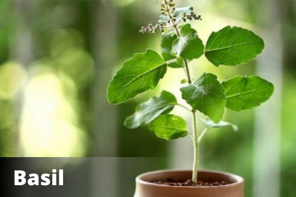 Basil Plant | Vastu For Office