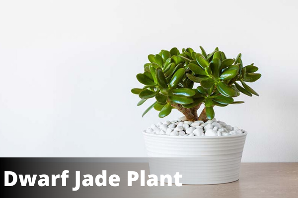 Dwarf jade plant | vastu for office