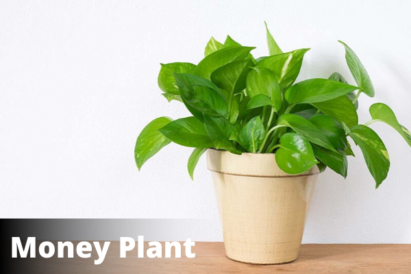Money Plant | Vastu for Office