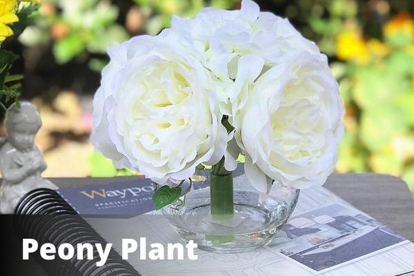 Peony Plant | Vastu For Vastu