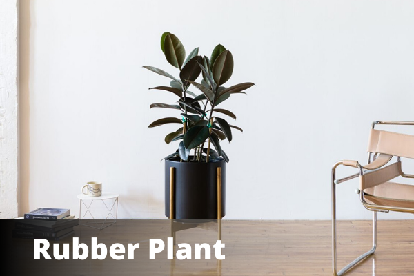 Rubber Plant | Vastu For Office