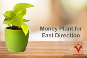 Money Plant for East Direction