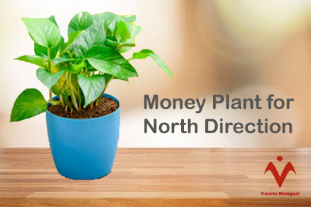 Money Plant for north Direction