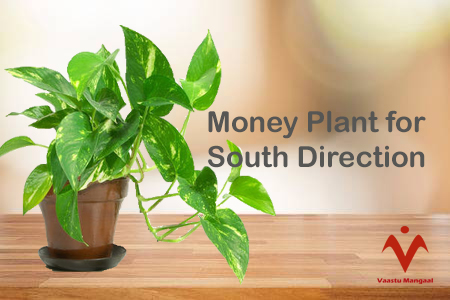 Money Plant for south Direction